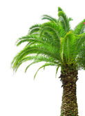 Part of palm tree on white background — Stock Photo