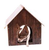 Chihuahua and her home — Stockfoto
