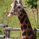 Detail of giraffe — Stock Photo
