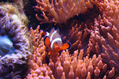 Clown fish (nemo) — Stock Photo