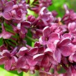 Lilac flowers — Stock Photo #10760535