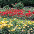 Beautiful roses garden — Foto Stock
