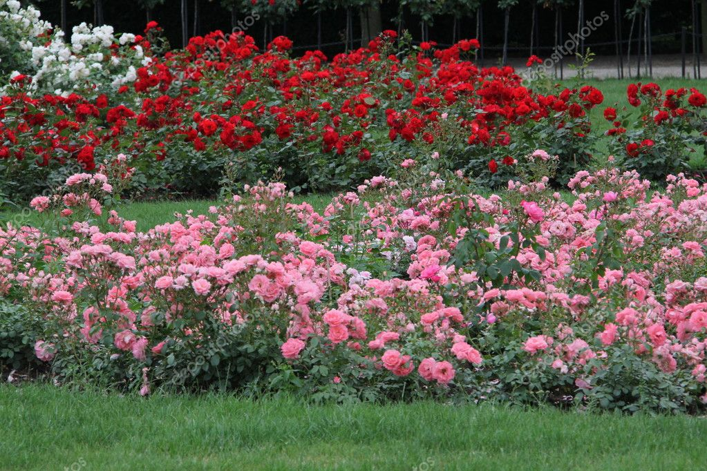 Gallery For &gt Beautiful Rose Gardens