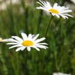 Field of daisies - 图库照片