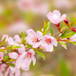 Pink flowers spring — Stock Photo