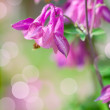 A close up of Aquilegia - Stock Photo