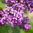 Flowers lilac purple - Stock Photo