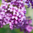Flowers lilac purple — Stock Photo