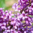 Flowers lilac purple - Foto Stock