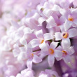 White lilac flowers - Foto Stock
