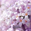 White lilac flowers — Stock Photo #11213489