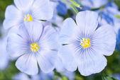Len květy zavřít — Stock fotografie