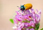 Yellow beetle — Stock Photo