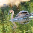 Cygnet on a Lake - 图库照片