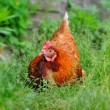 Cute young hen in a green grass - 图库照片