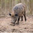 Wild boar in forest - 图库照片