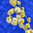 Yellow pussy willow branches on a blue background — Stock Photo