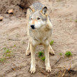 Wolf (Canis lupus) — Stock Photo
