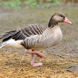 Greylag goose — Stock Photo #11423261