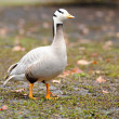 Bar-headed goose (Anser indicus) - Stock Photo