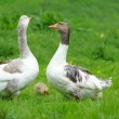 Geese are on a green grass — Stock Photo #11423533