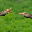 Geese with a defensive attitude — Stock Photo