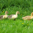 Goslings on a green grass — Stock Photo