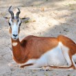 Springbok antelope (Antidorcas marsupialis) — Stock Photo
