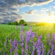 Stock Photo: Bright sunset over wonderful field with flowers