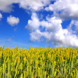 Royalty-Free Stock Photo: Field of wheat on a background blue sky with clouds