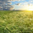 Bright sunset over wheat field — Stock Photo