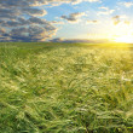 Bright sunset over wheat field — Stock Photo #11423842