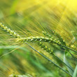 Green wheat in the field — Stock Photo