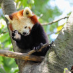 Red panda on tree — Stock Photo #11423895