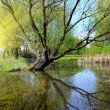 Stock Photo: Remarkable landscape is with lake and old willow