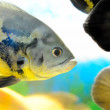 Exotic fishes (Astronotus ocellatus) - Stock Photo