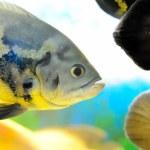 Exotic fishes (Astronotus ocellatus) — Stock Photo