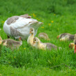 Geese are with goslings on a green grass — Stock Photo