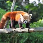 Red panda on tree — Stock Photo #11424126