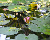 Flor de lótus — Foto Stock
