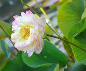 Kvetoucí lotosový květ — Stock fotografie