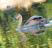 Cygnet on a Lake — Stock Photo