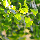 Close-up on Ginkgo Biloba tree — Stock Photo