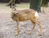Deer in forest — Stock Photo