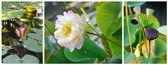 Floraison fleur de lotus — Photo