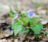 Spring flowers of violet (Viola riviniana) — Fotografia Stock