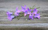 Campanula patula flower — Stock Photo