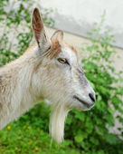 Goat on a pasture — Stock Photo