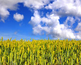Field of wheat on a background blue sky with clouds — Stock Photo