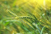 Zelená pšenice v poli — Stock fotografie